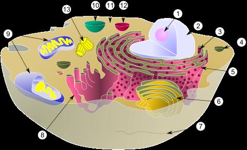 Funciones de Golgi