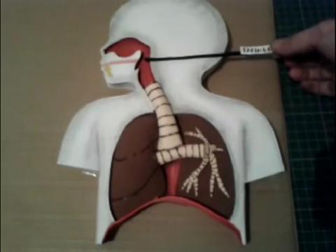 El mundo en línea estructura completa de sistema respiratorio
