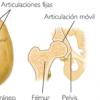 Articulaciones del Cuerpo Humano – Funciones y Clasificación