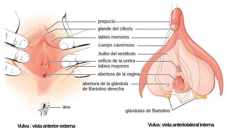 Quistes vaginales: por qu se producen y qu tipos hay