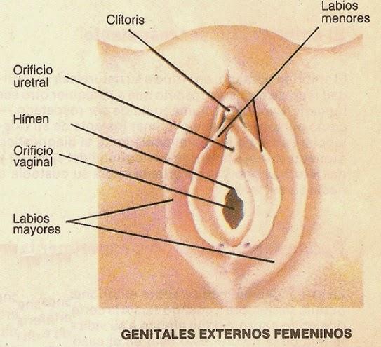 SISTEMA REPRODUCTOR FEMENINO EXTERNO