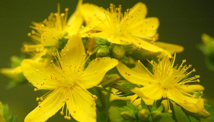 La Depresión Tiene Cura la planta curación por plantas