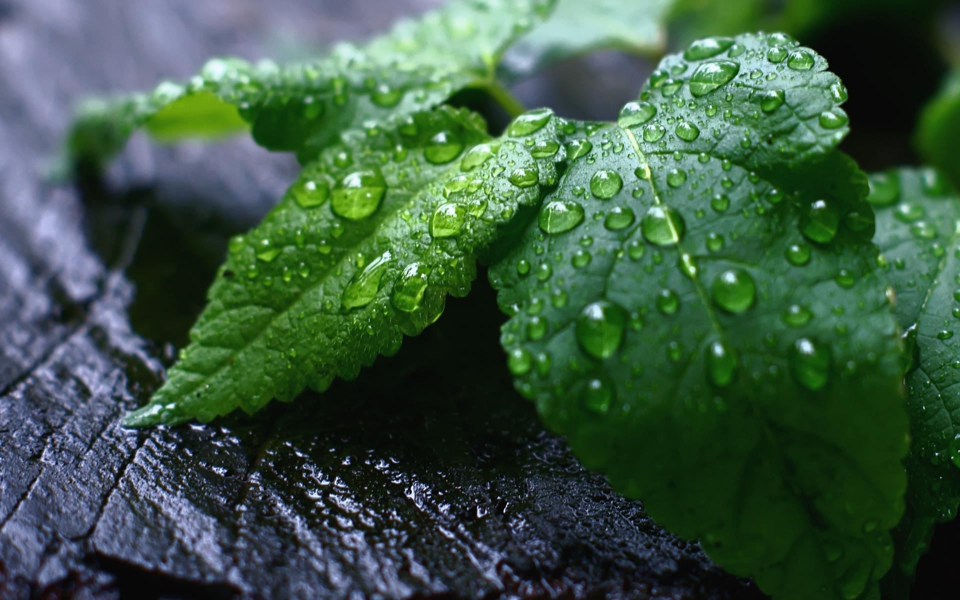 Remedios caseros para adelgazar la barriga hojas de menta