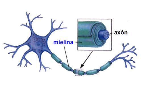 esclerosis multiple cura acción de la melanina