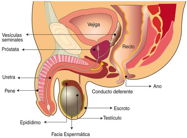 recorrido del espermatozoide la función de la próstata