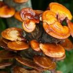 Ganoderma lucidum comprar en el mercado