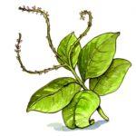 Como se prepara el anamú - Para diferentes tipos de enfermedades