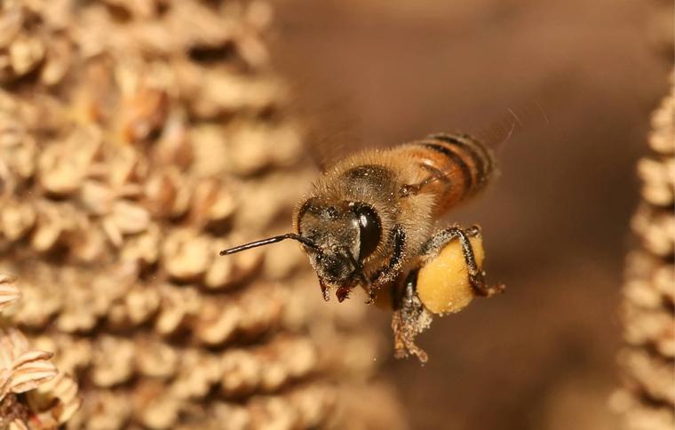 Enfermedades que pueden curar las abejas. Curación con abejas.