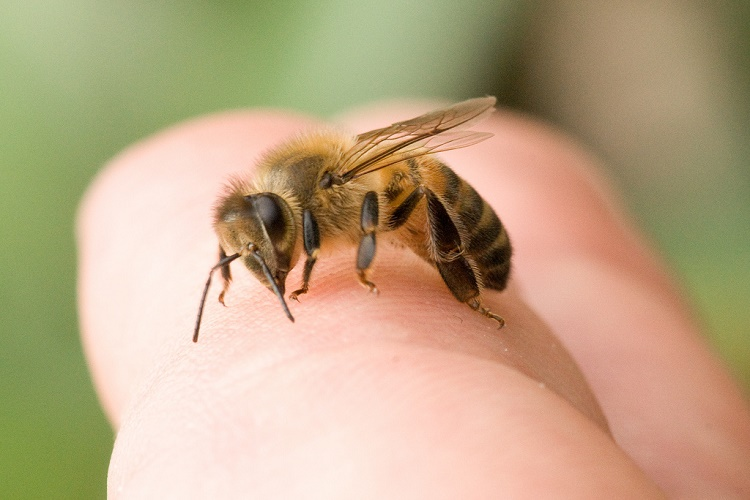 Recomendaciones para tratar el Piquete de abeja