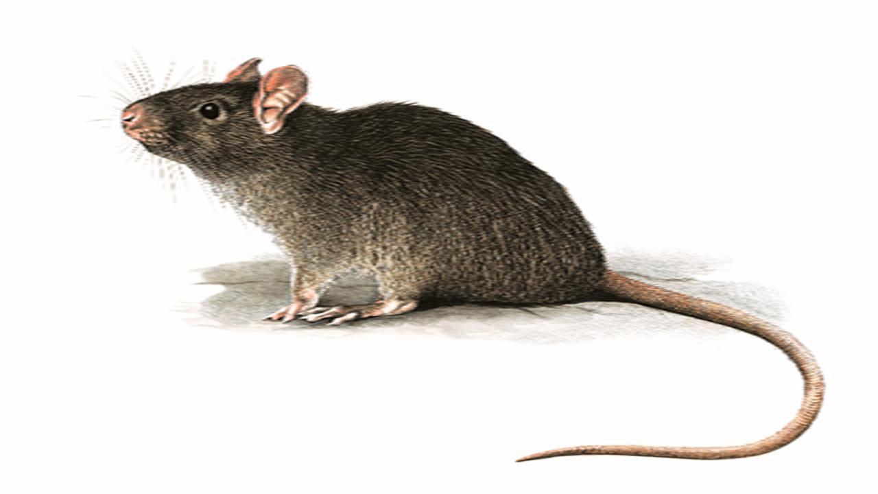 Cuál es el mejor veneno para ratas, Métodos efectivos para eliminarlas